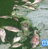 У Млинові – масовий мор риби та трагедія ріки Іква