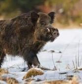 На Рівненщині мають знищити близько півсотні кабанів