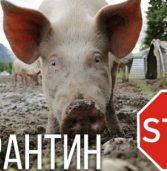 Що слід знати та як запобігти африканській чумі свиней
