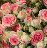 «Сімейні» троянди прикрасили вулицю міста