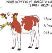 2,5 тисячі за теля: селянам Рівненщини виплачують гроші за підтримку галузі